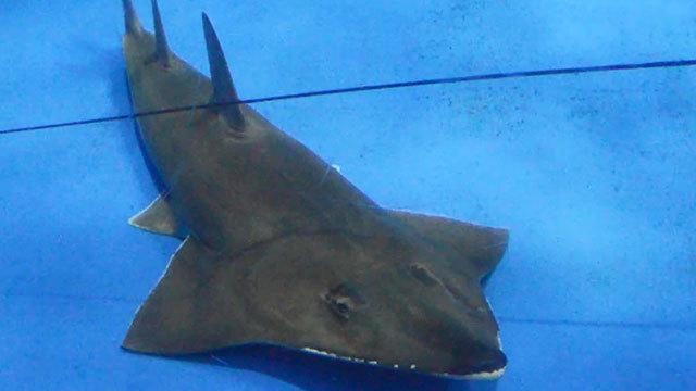 水族館で20年飼育のエイ、実は新種 「誰も気づかず」