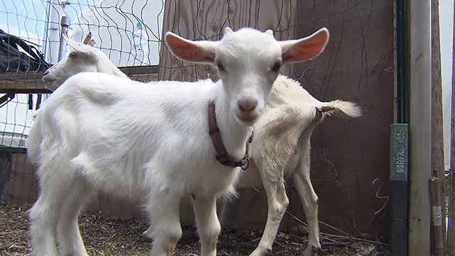 ヤギの除草、月4950円 レンタル殺到 販売予約待ち
