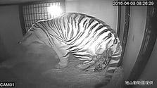 北海道)旭山動物園がアムールトラの繁殖に初成功