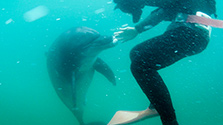 鳥取の海水浴場に野生イルカ サーフィン客とたわむれ