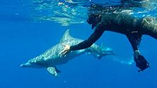 小笠原諸島、イルカの季節 一緒に泳ぐツアー人気