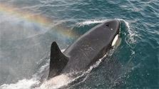海の王者シャチ、根室海峡に 複数の群れに会えるかも