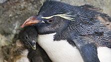 ミナミイワトビペンギン、世界初の人工繁殖成功 海遊館