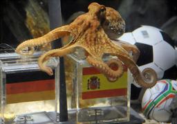 写真:ドイツのオーベンハウゼンの水族館で6日、スペイン国旗のついた箱を選んだタコのパウル=AP