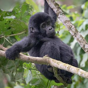 モザイク? いえこれは…… ゴリラに会える森も ウガンダ