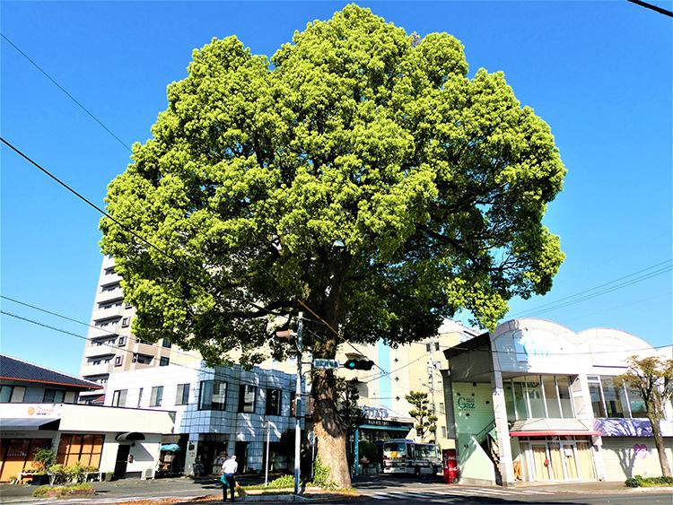 青空をバックに大木の緑が鮮やかでした