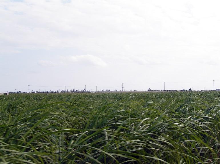 島のほとんどがさとうきび畑