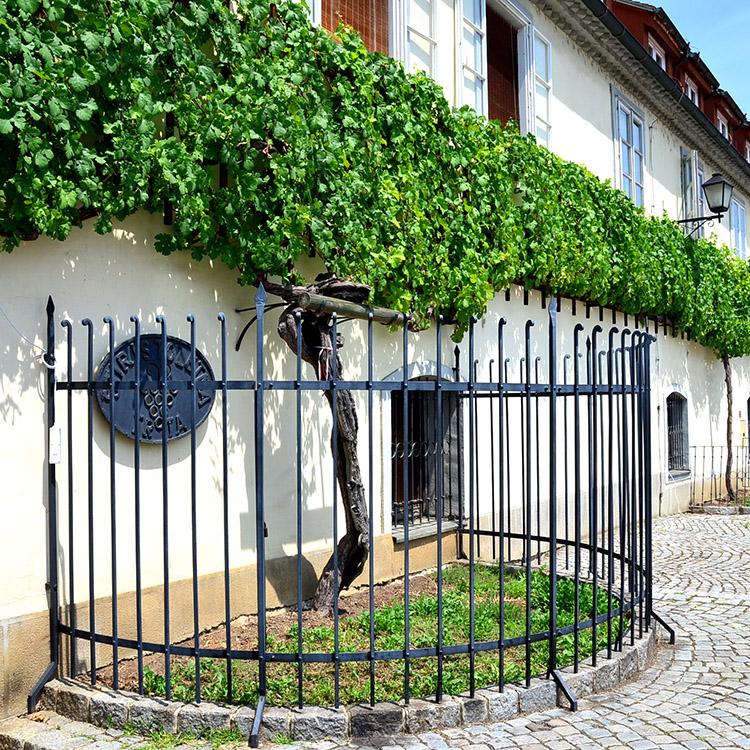 世界最古のブドウの木 ワインの名所 スロベニア・マリボル