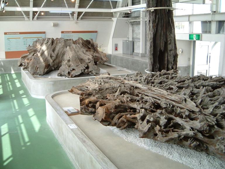 乾燥展示室の埋没林(画像提供:魚津埋没林博物館)