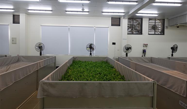 摘みたての茶葉に風を送って乾燥させる