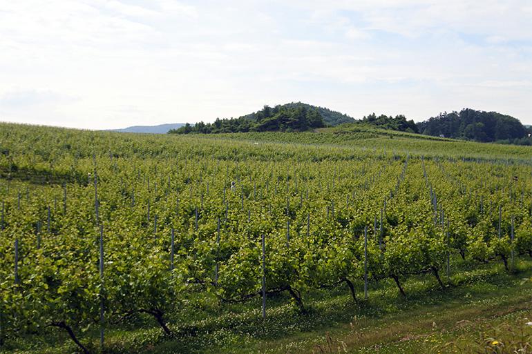 積丹半島の付け根に位置する余市町はフルーツの産地。ワインの産地としても注目を浴びています