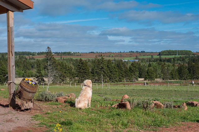畑の除草は羊に任せ、犬のアビーは羊を守っている