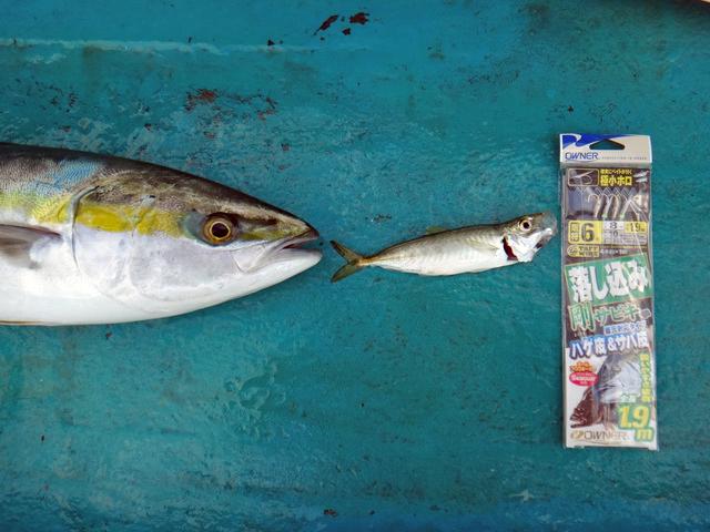 「落とし込み」の図式。小魚にハリを食わせ、小魚を食べにきた大物を釣る