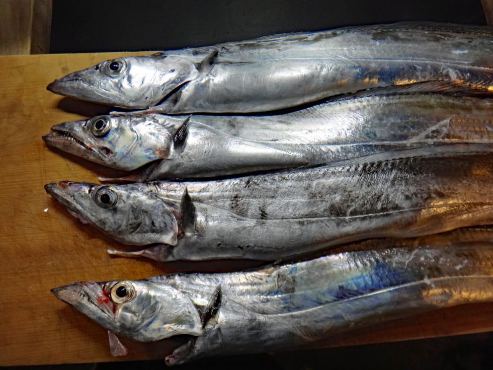 タチウオ指5本メートル超え入れ食いに歓喜 大阪湾