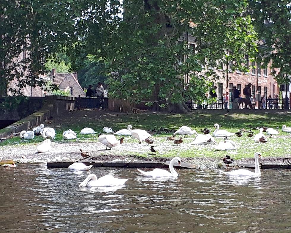 運河には白鳥の群れも