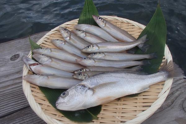 アタリが強烈!「海の女王」シロギス 輝く白身は江戸前天ぷらに 江戸川放水路
