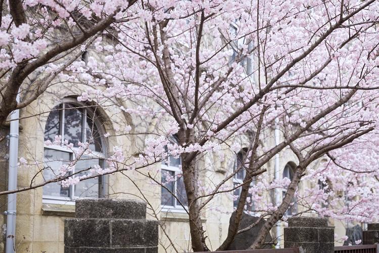 店から徒歩2、3分、京都市立下京中学校成徳学舎の校舎に沿って植えられた「春めき」という品種の桜。染井吉野よりひと足早く開花し、道ゆく人の目を楽しませる