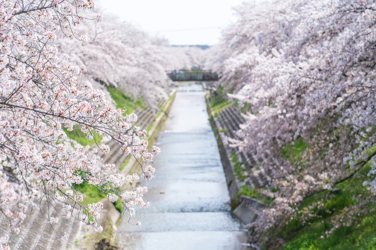 ホテルのすぐ近くを流れる佐保川は桜の名所。両脇の遊歩道を散歩する地元の方々の姿が見られました