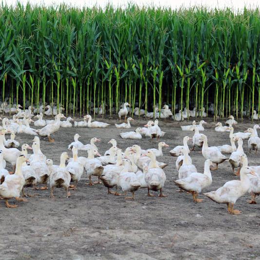 <番外編>フランス・ランド地方の鶏とカモの生産者に会いにゆく