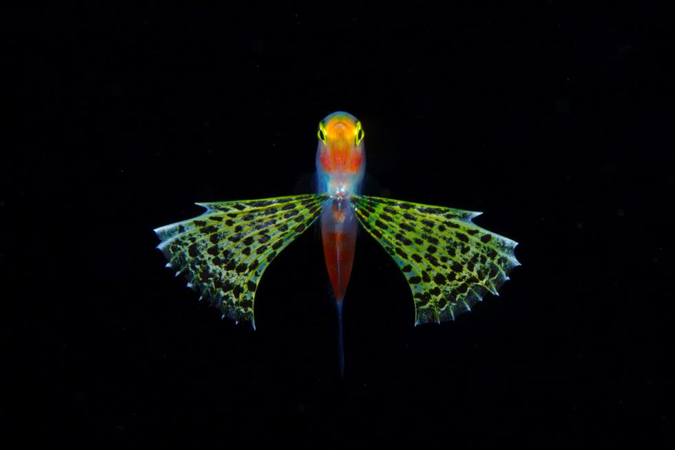 クダリボウズギス属の稚魚/体長33mm/沖縄県久米島 ©峯水亮