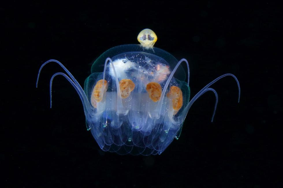エフィラクラゲ属の一種とクラゲノミ/クラゲの傘幅20mm/沖縄県久米島 ©峯水亮