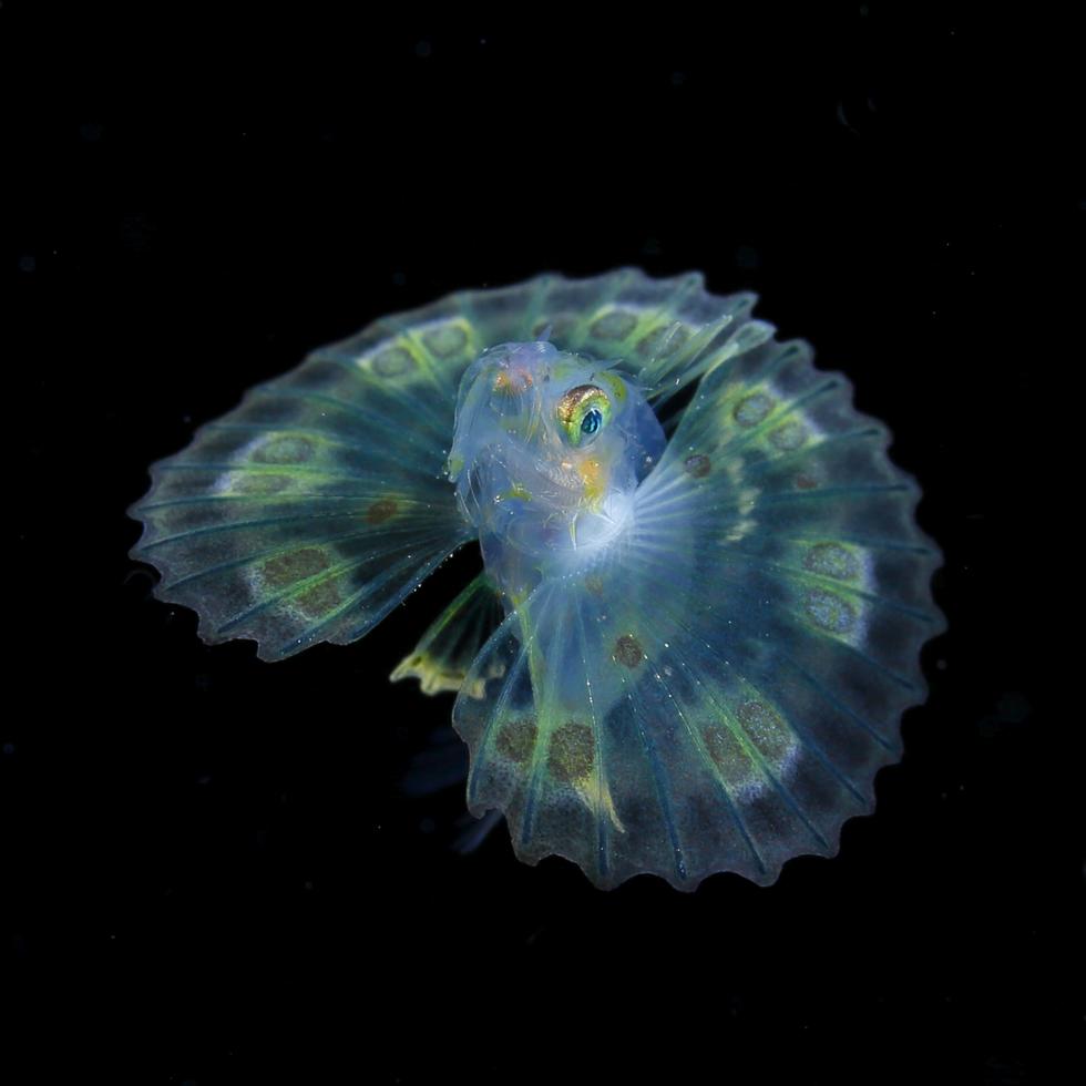 ヒメヤマノカミ属の一種/体長20 mm/モルディブ ©峯水亮