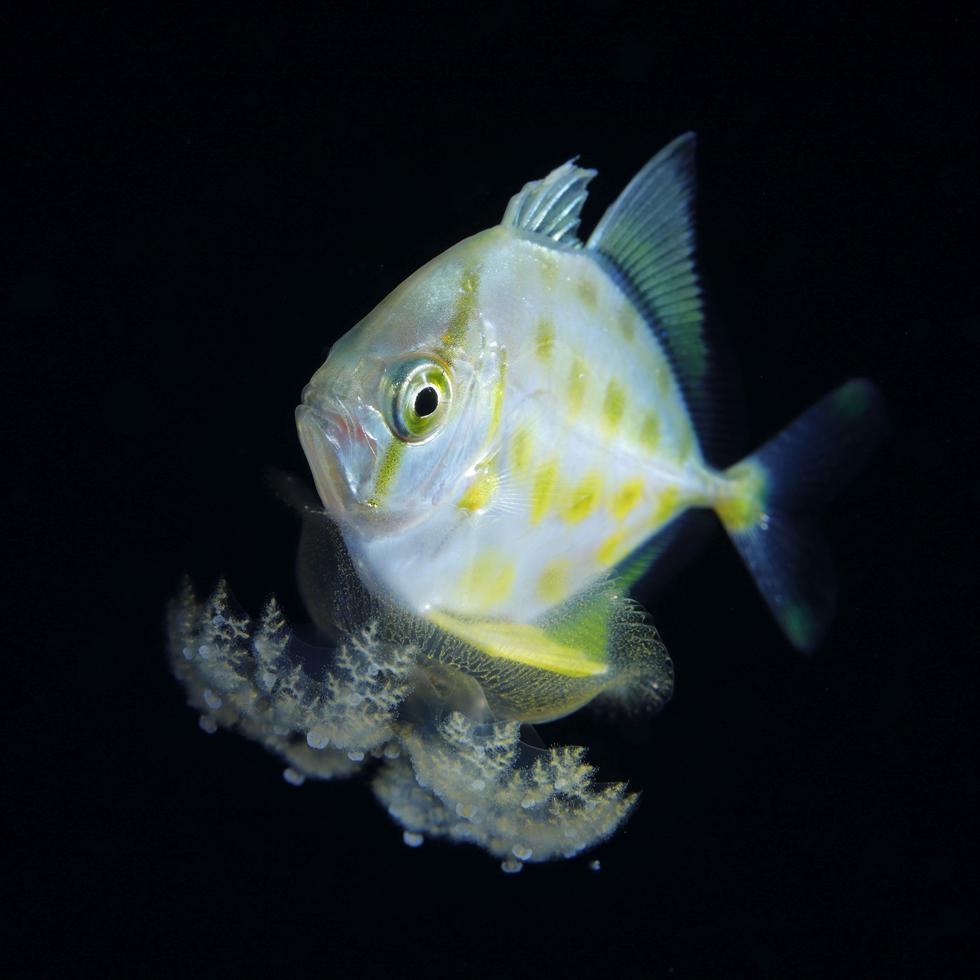 サカサクラゲに乗りながら眠るヨロイアジ属の幼魚/魚の体長40mm/沖縄県久米島 ©峯水亮