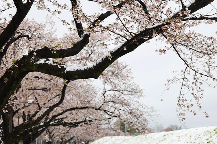季節の変化と静寂を求めて 2020年の桜を撮る