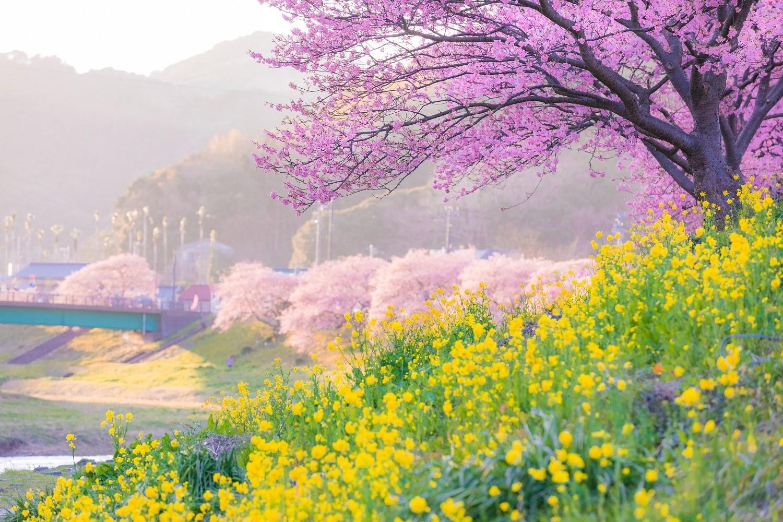 「みなみの桜」と駿河湾の味でひと足早い春 静岡県・南伊豆町