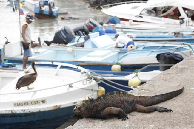 島でもっとも目につくガラパゴスウミイグアナ