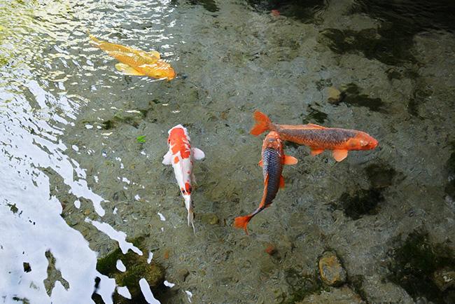 湧水に泳ぐ鯉が浮かんで見えるところも