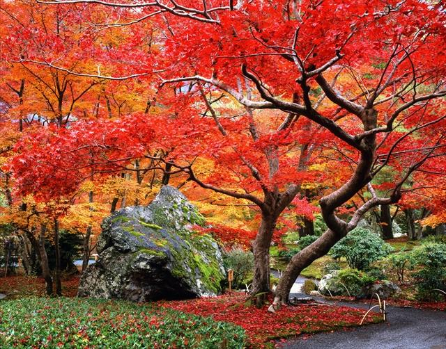 紅葉のグラデーションの中に堂々とたたずむ、宝厳院「獅子吼の庭」の巨石・獅子岩