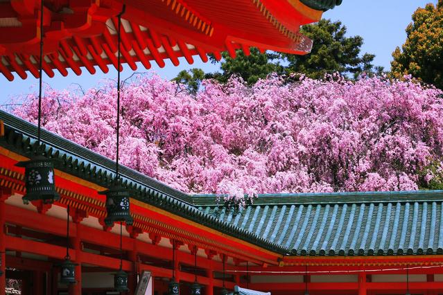 朱塗りの社殿と紅枝垂れ桜の鮮やかな配色が見事。約1万坪の広大な神苑は、桜のカーテンに包まれたようにピンク色に染まる