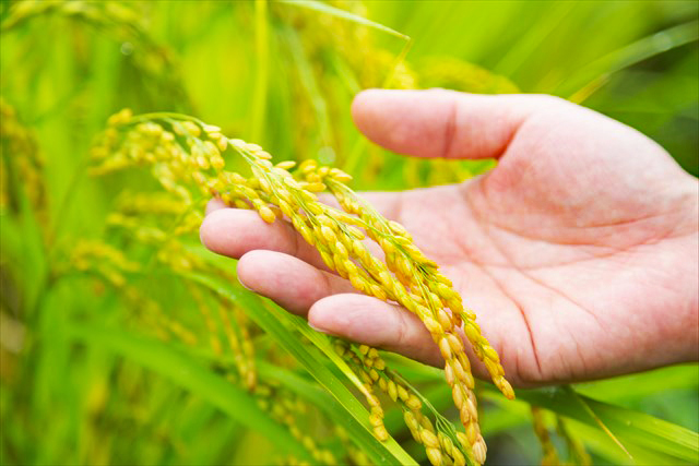 """天栄村で栽培するのは8割がコシヒカリ。ほか早い時期に収穫される、ひとめぼれ、4年前からは宇都宮大学が開発した「ゆうだい21」の栽培にも着手。今年から本格販売に乗り出す新米は「エールマーケット」<a href=""""https://yellmarket.yahoo.co.jp/speciallist/season/rice2018/"""" class=""""ArticleLinkB Blank"""" target=""""_blank"""">https://yellmarket.yahoo.co.jp/speciallist/season/rice2018/</a>で予約受付中。出荷は10月下旬を予定"""