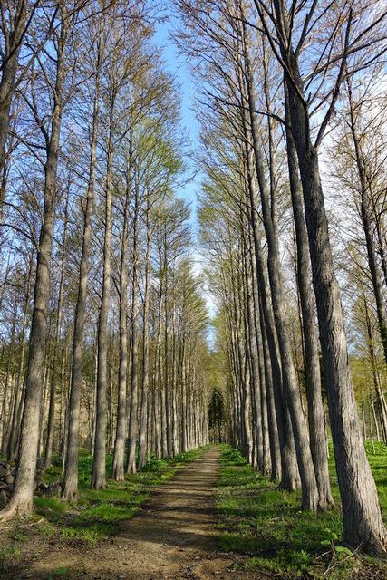 カツラ並木が美しい遊歩道