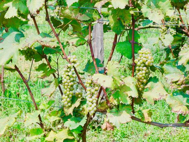 オーガニックのぶどう畑。果樹や野菜、ハーブなどを寄せ植えすることで、ぶどうを害虫から守っています