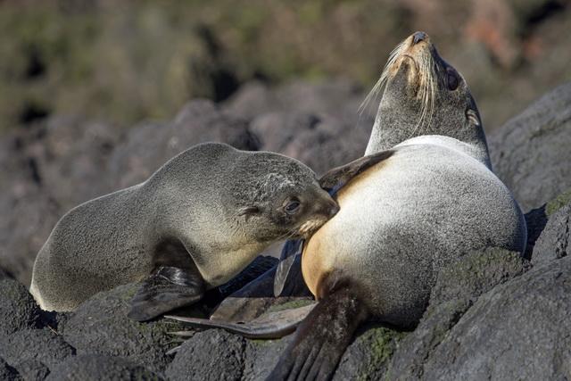 ニュージーランドオットセイの親子の姿も。ここが市街地からすぐそばの海であることを忘れてしまいます©Monarch Wildlife Cruises and Tours