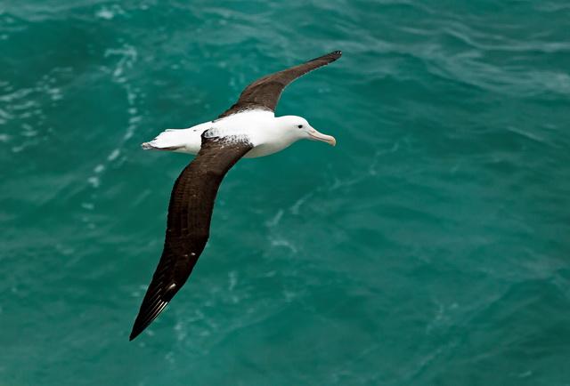 あまり羽ばたくことなく、優雅に飛行をするノーザン・ロイヤル・アルバトロス。人が暮らす地の近くで営巣するのは、世界でもここだけ(C)Monarch Wildlife Cruises and Tours