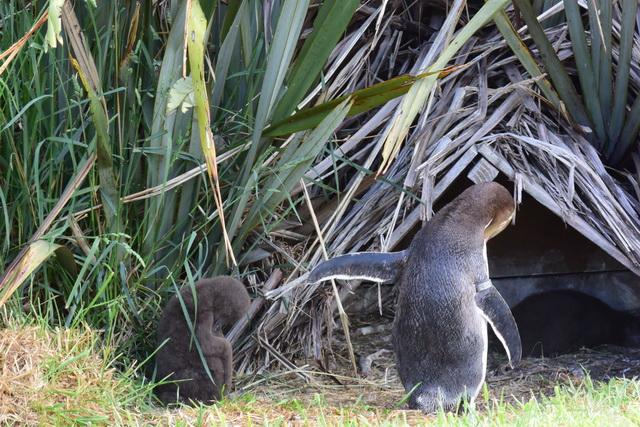 親ペンギンのマネをして毛づくろいをする赤ちゃんペンギン