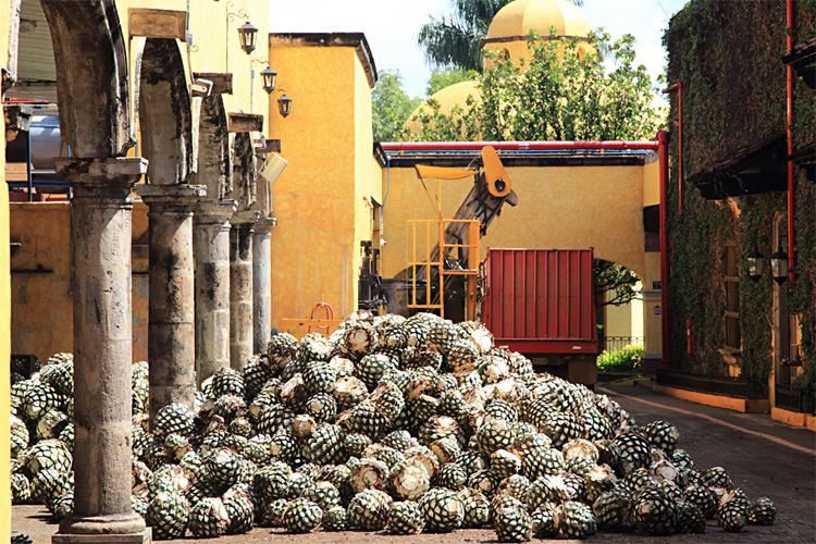山積みになったピニャ。ピニャはスペイン語でパイナップルを意味する。形状が似ていることからそう呼ばれている