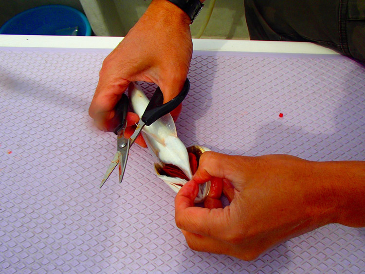 イシモチをおいしく食べるには血抜きがキモ。エラの付け根をカットする
