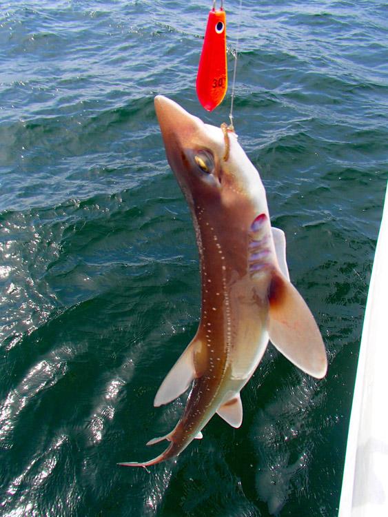 竿が大きくしなったと思ったら、サメだった