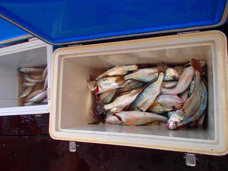 参加者の釣果を集めればこんなにたくさんに。手前のクーラーがイシモチ、奥がアジ
