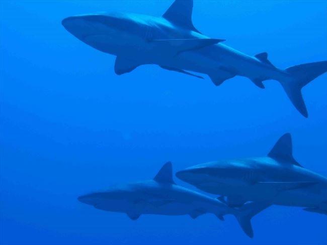 数百匹のサメが泳ぐ、驚きのタヒチの海