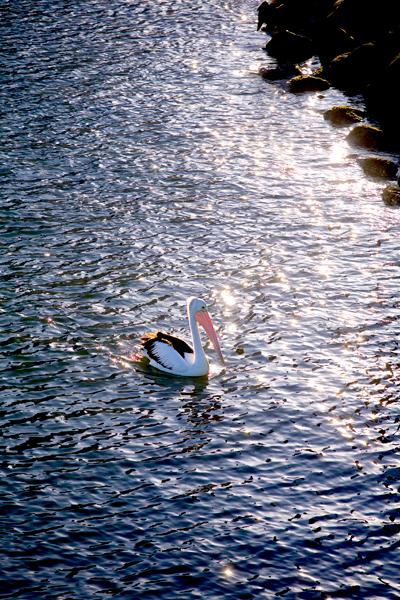 スワン川のペリカン