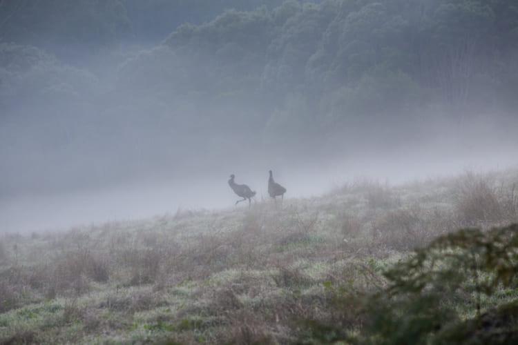 朝霧の中で出合ったエミュー