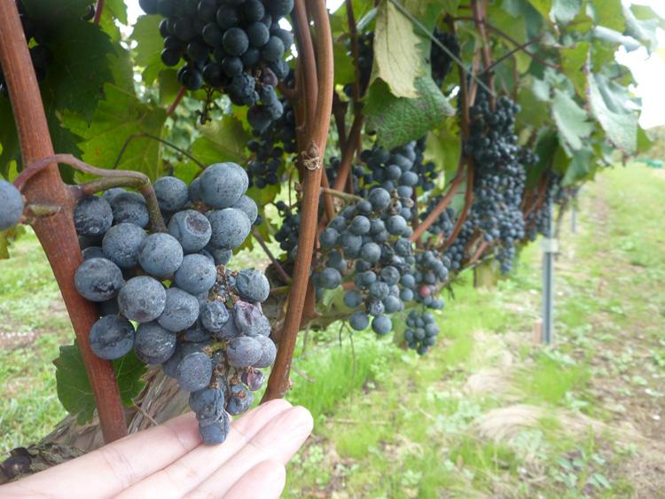 世界農業遺産の絶景に、能登ワイン、能登ミルクと飲み物ざんまい 能登半島ぐるり旅