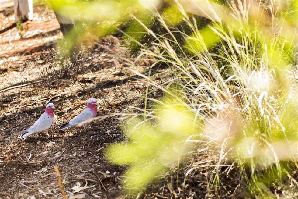 野生のインコが間近で見られるオーストラリア