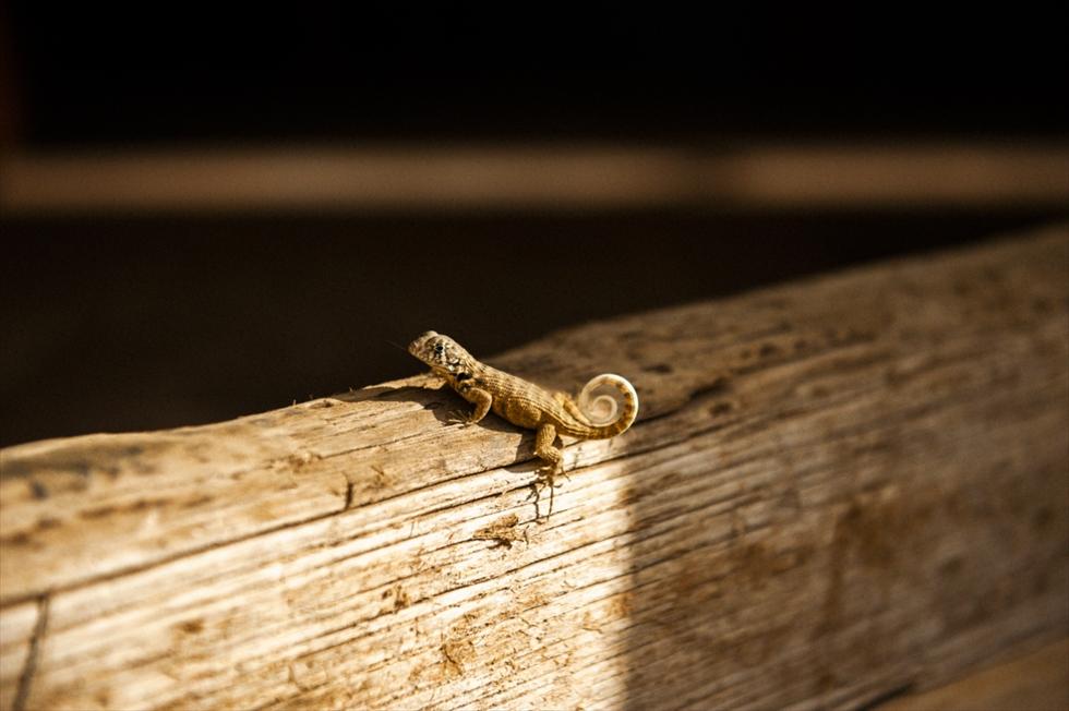 キューバのトリニダで出合った渦巻き尻尾のトカゲくん