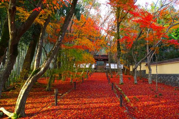 京都で晩秋の紅葉を味わう。竹林に囲まれた穴場スポット「竹の寺 地蔵院」